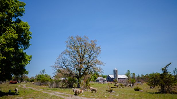 The K&P Trail travels beside and through a few farm fields. You can expect to see mostly horses and sheep.